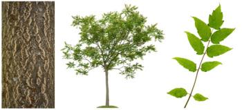 Eberesche Allgäuer Wert und Edelholz